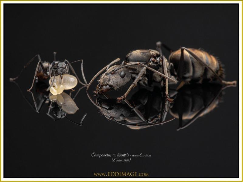 Camponotus-auriventris-4Emery-1889
