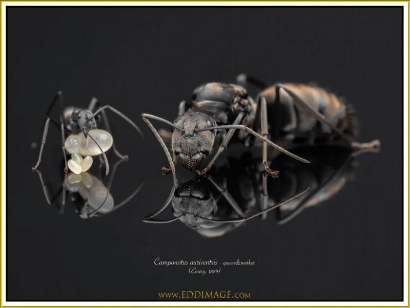 Camponotus-auriventris-5Emery-1889