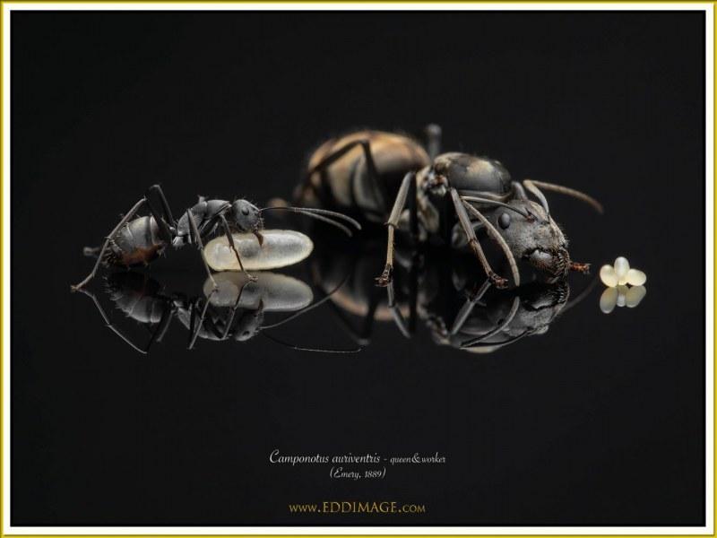 Camponotus-auriventris-6Emery-1889