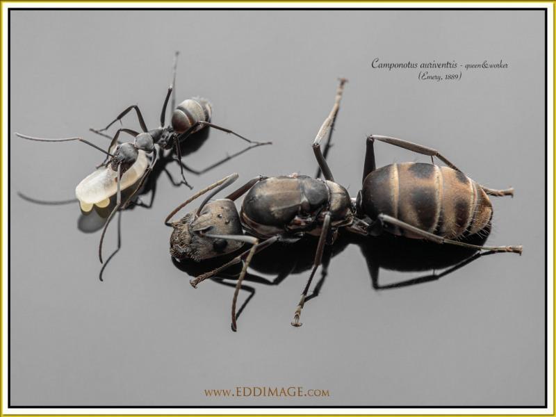 Camponotus-auriventris-Emery-1889