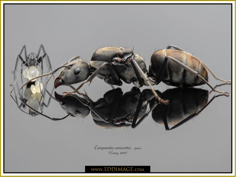 Camponotus-auriventris-queen1Emery-1889