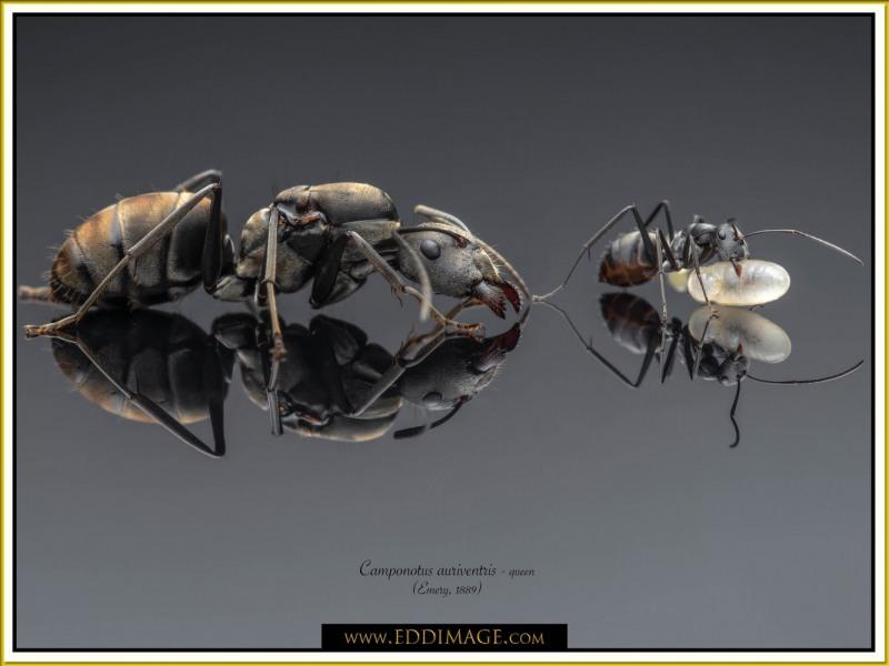 Camponotus-auriventris-queen3Emery-1889