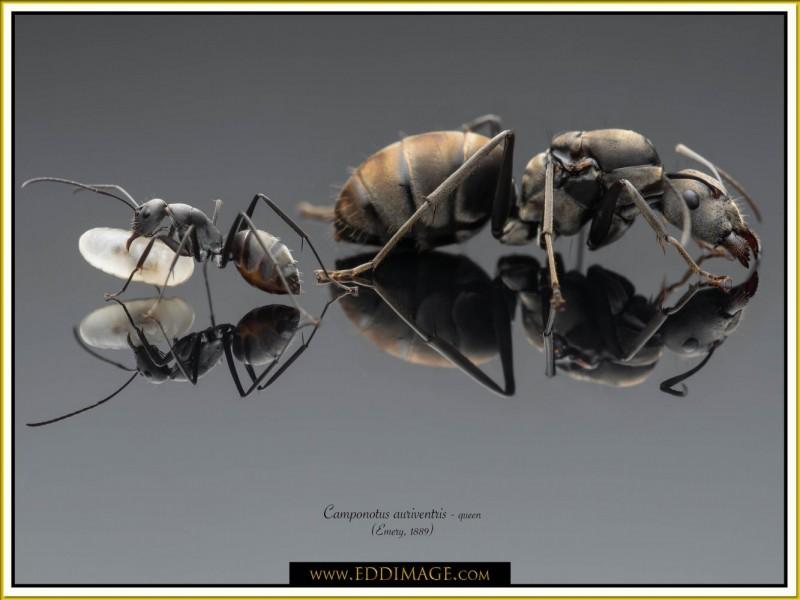 Camponotus-auriventris-queen4Emery-1889