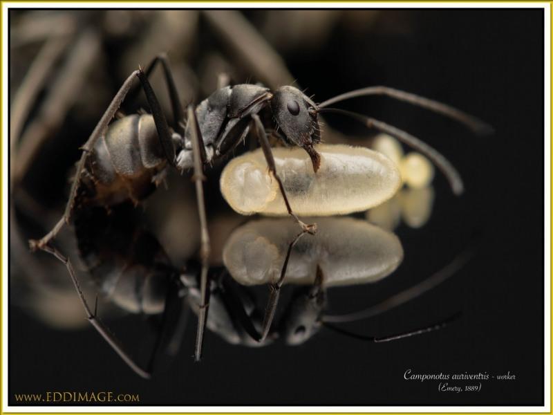 Camponotus-auriventris-worker-1Emery-1889