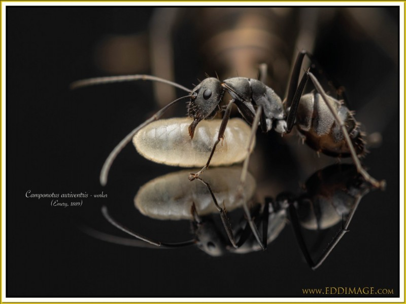 Camponotus-auriventris-worker-2Emery-1889