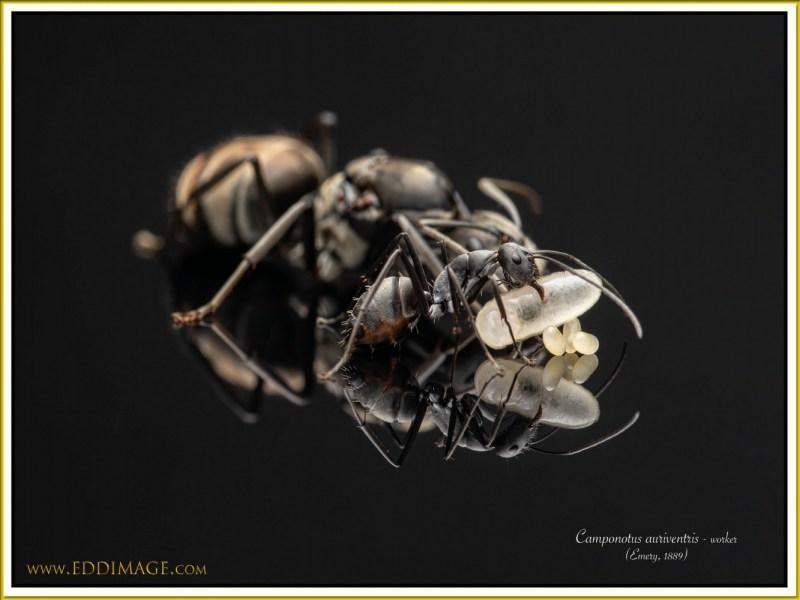 Camponotus-auriventris-worker-3Emery-1889