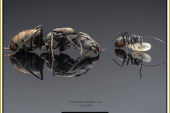 Camponotus-auriventris-queen3Emery-1889