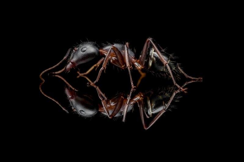 Camponotus-cf.-barbaricus-worker-Portugal