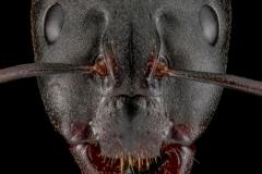 Camponotus-cf.-barbaricus-worker-Portugal-2