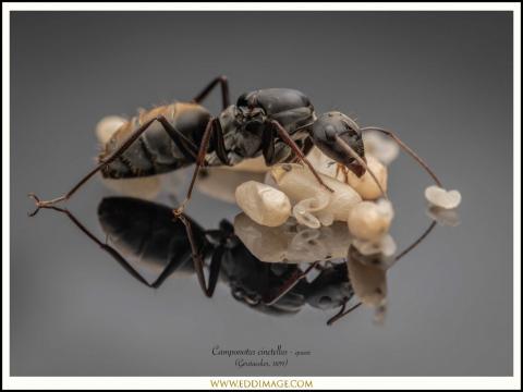 Camponotus-cinctellus-queen-1-Gerstaecker-1859