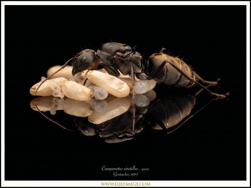 Camponotus-cinctellus-queen-2-Gerstaecker-1859