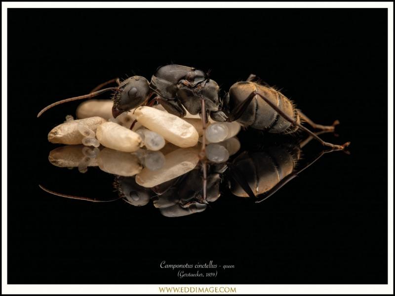 Camponotus-cinctellus-queen-3-Gerstaecker-1859