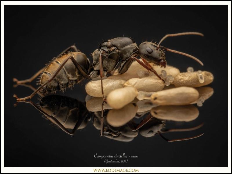 Camponotus-cinctellus-queen-4-Gerstaecker-1859