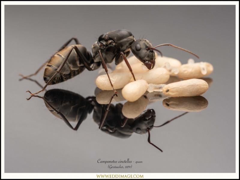 Camponotus-cinctellus-queen-6-Gerstaecker-1859