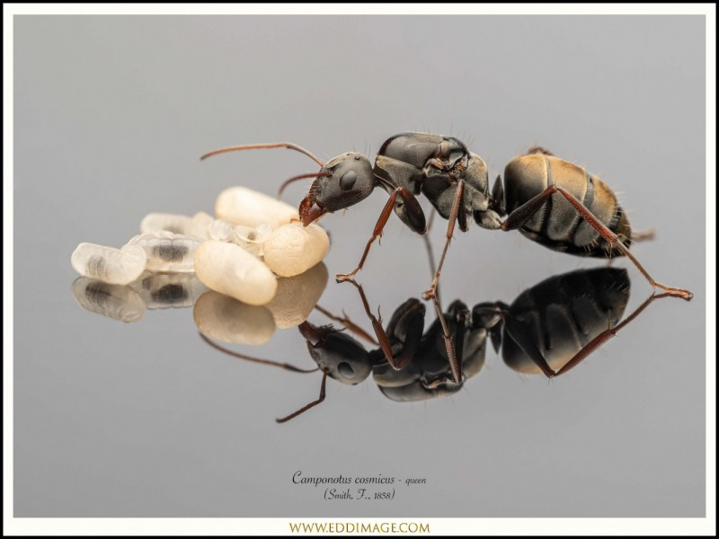 Camponotus-cosmicus-queen-1-Smith-F.-1858