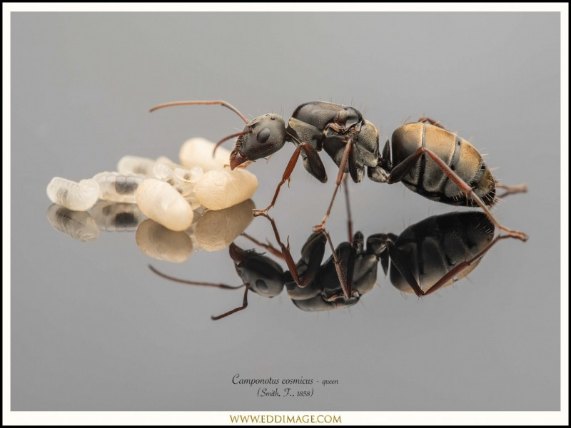Camponotus-cosmicus-queen-3-Smith-F.-1858