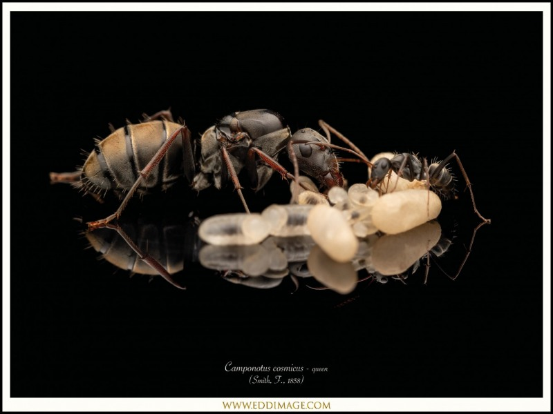 Camponotus-cosmicus-queen-5-Smith-F.-1858