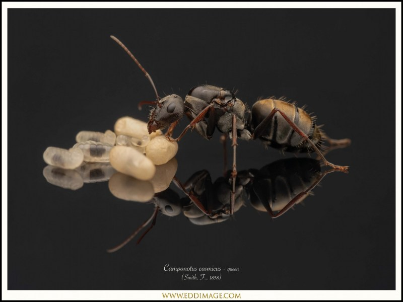 Camponotus-cosmicus-queen-6-Smith-F.-1858