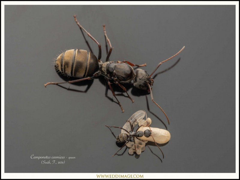 Camponotus-cosmicus-queen-7-Smith-F.-1858