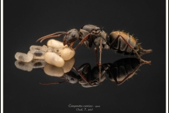 Camponotus-cosmicus-queen-4-Smith-F.-1858