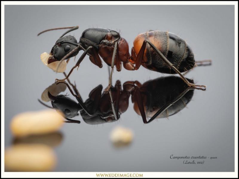 Camponotus-cruentatus-queen-1-Latreille-1802