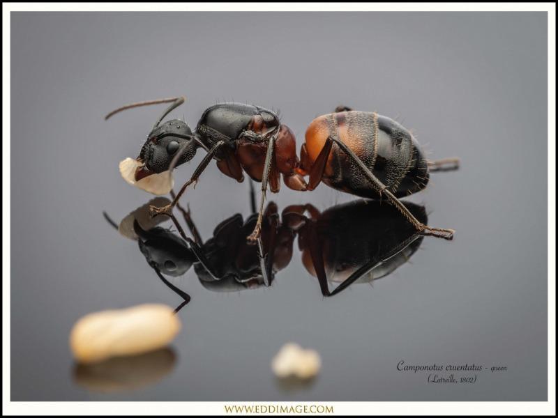 Camponotus-cruentatus-queen-2-Latreille-1802