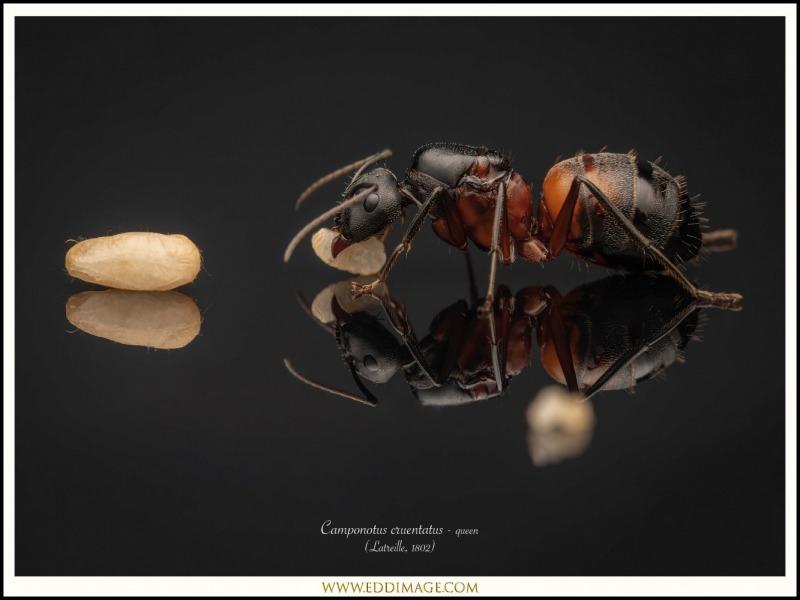 Camponotus-cruentatus-queen-3-Latreille-1802