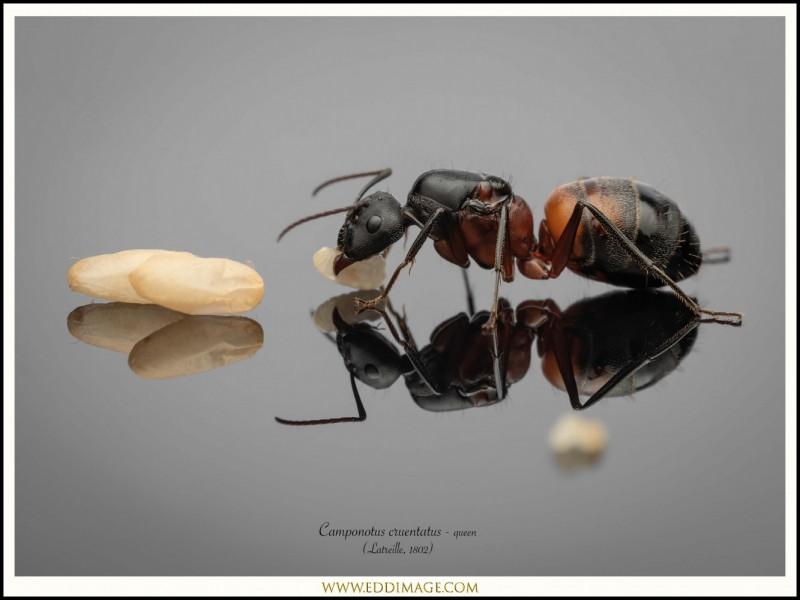 Camponotus-cruentatus-queen-4-Latreille-1802