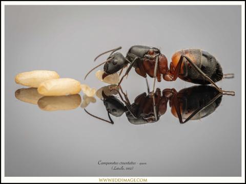 Camponotus-cruentatus-queen-5-Latreille-1802