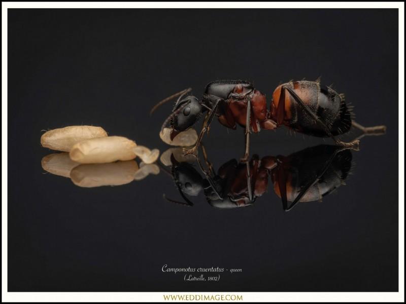 Camponotus-cruentatus-queen-6-Latreille-1802