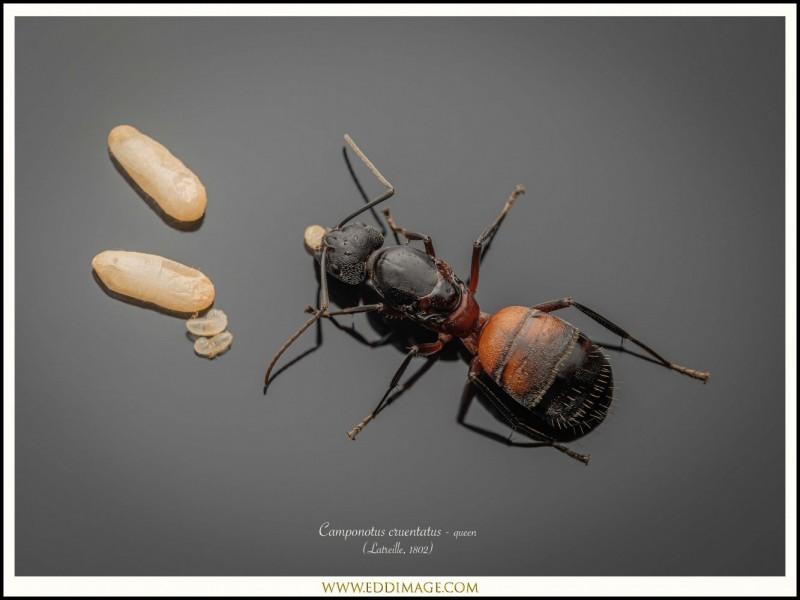Camponotus-cruentatus-queen-7-Latreille-1802