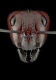 Camponotus-detritus-Namib-desert-Africa-2