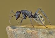 Namib Desert dune ant [Camponotus detritus]