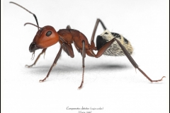 Camponotus-detritus-major-worker-2Emery-1886