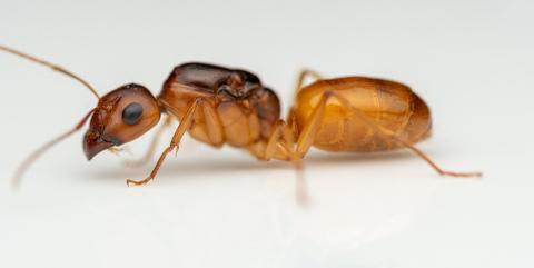 Camponotus-fedtschenkoi-Mayr-1877-queen-14