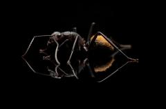Camponotus-fulvopilosus-Namibia-Africa-2
