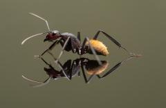 Camponotus-fulvopilosus-Namibia-Africa-3
