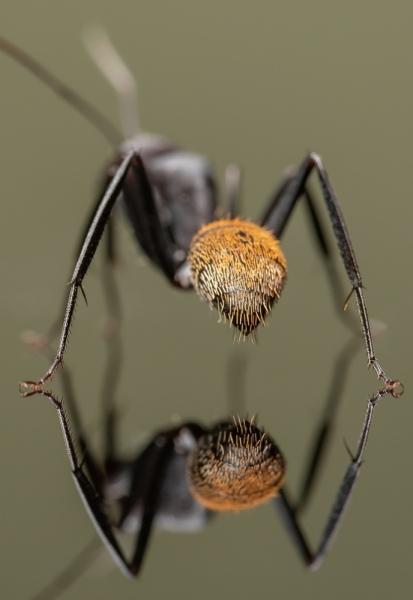 Camponotus-fulvopilosus-Namibia-Africa-4