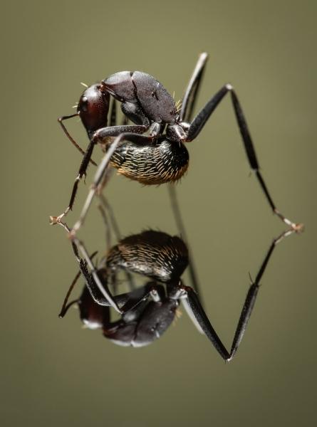 Camponotus-fulvopilosus-Namibia-Africa-5