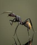 Camponotus-fulvopilosus-Namibia-Africa-6