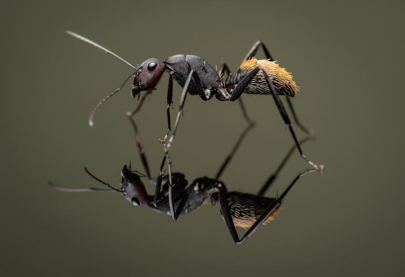Camponotus-fulvopilosus-Namibia-Africa-7