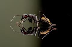 Camponotus-fulvopilosus-Namibia-Africa