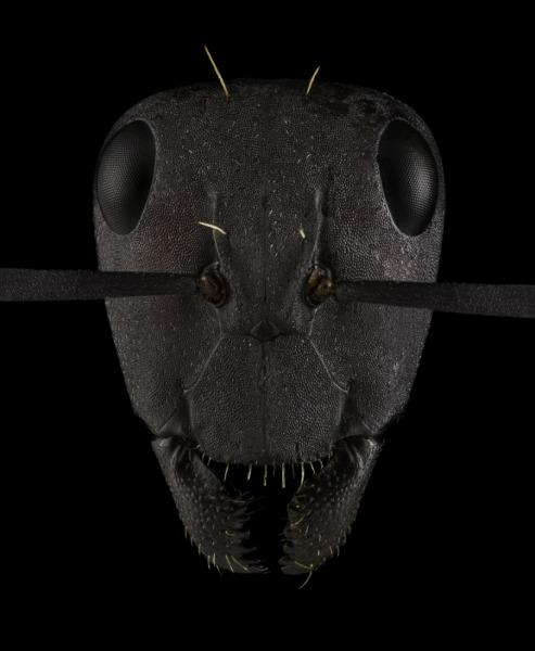 Camponotus-fulvopilosus-Namibia