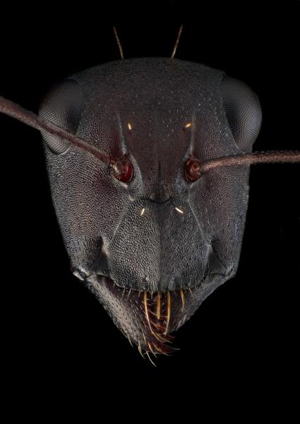 Camponotus fulvopilosus - Namibia2
