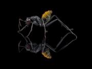 Camponotus fulvopilosus - Namibia3