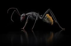 Camponotus fulvopilosus - Namibia4