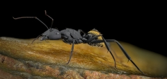 Camponotus fulvopilosus - Namibia6