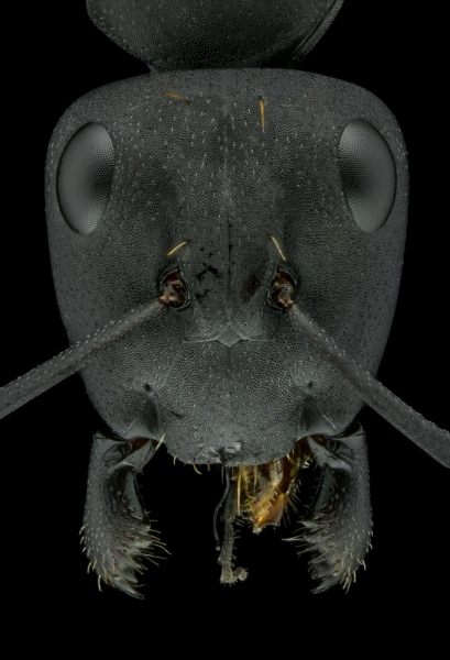Camponotus fulvopilosus - Namibia9