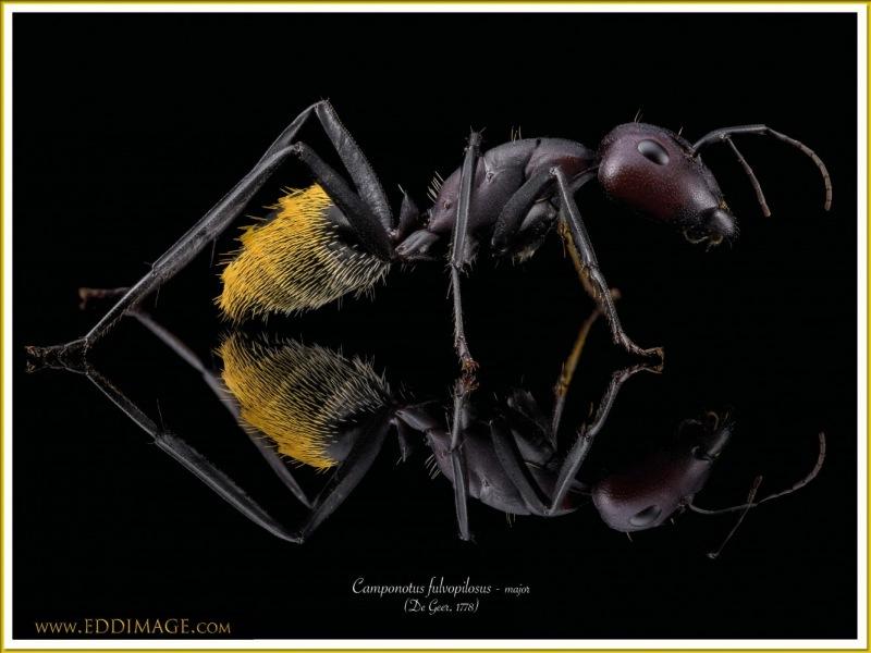 Camponotus-fulvopilosus-major2De-Geer-1778