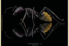 Camponotus-fulvopilosus-major1De-Geer-1778